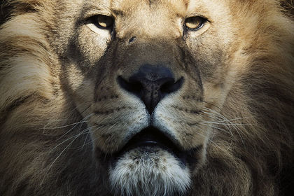 Portrait de lion