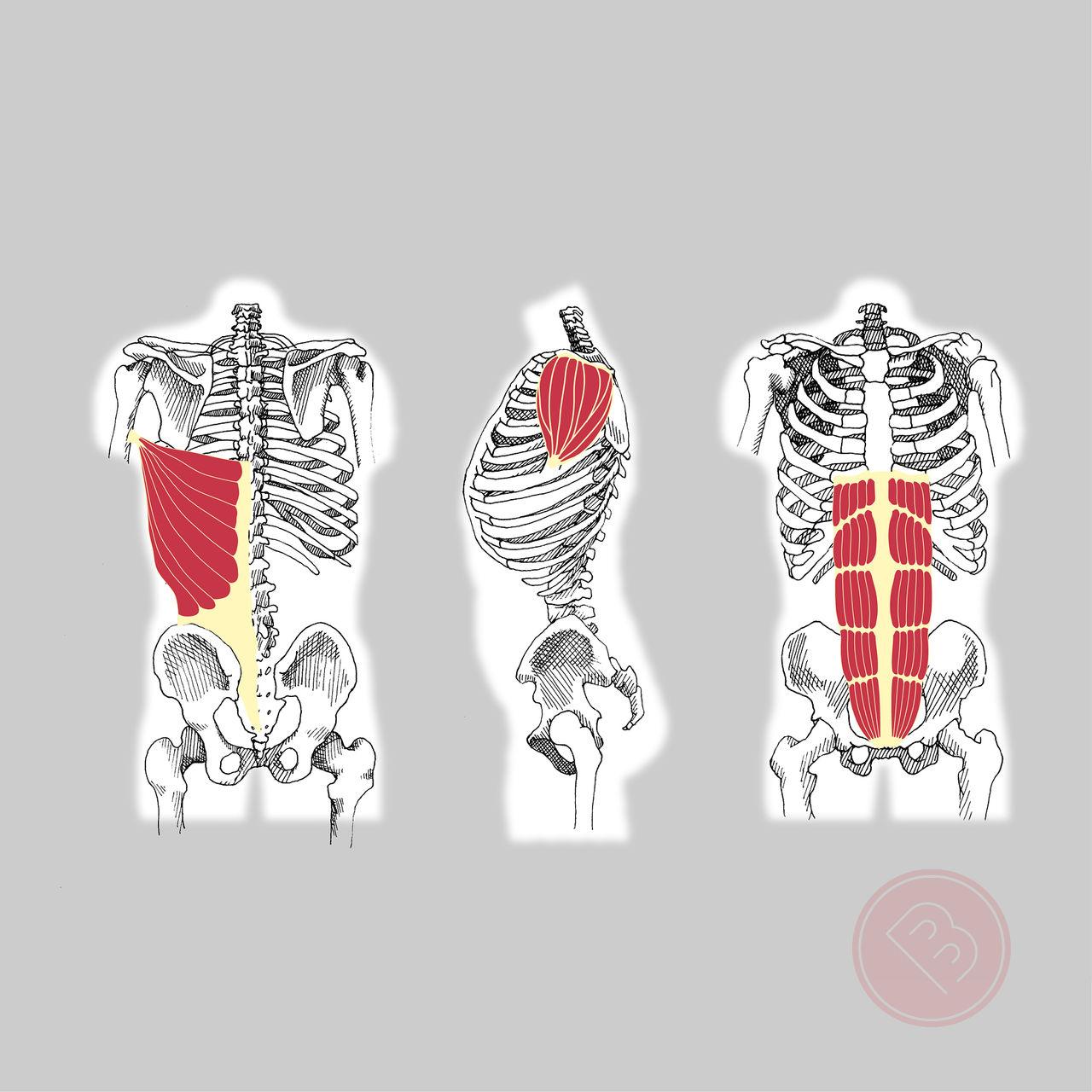 Illustration tirée du Dico des Muscles