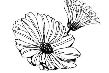 Illustration Calendula