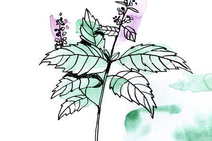 Illustration de menthe poivrée